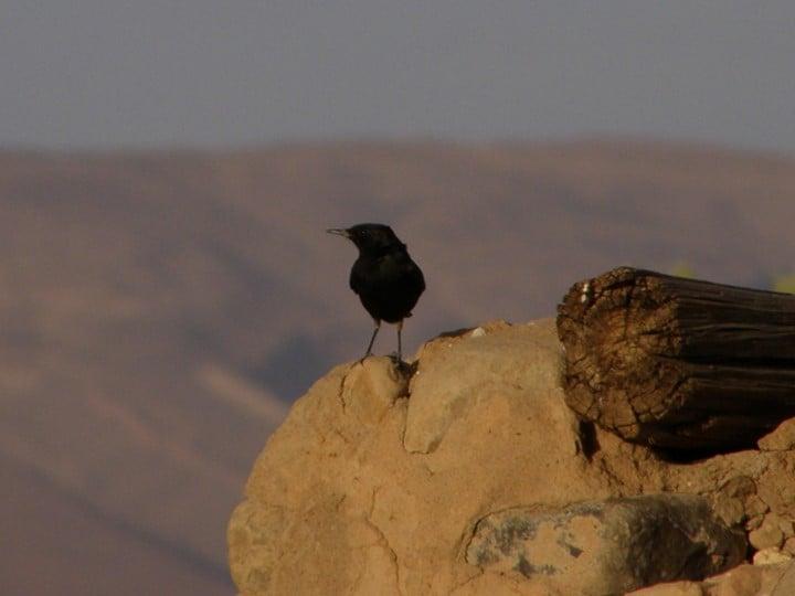 Aspect dintr-o colonie de stârc de cireadă (Bubulcus ibis)